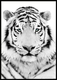 White Tiger Plakat i gruppen Plakater / Insekter & Dyr hos Desenio AB Black Panther Poster, Tiger Poster, Gold Poster, Modern Art Prints, Wall Art Prints, Poster Prints, White Photography, Fine Art Photography, Frames