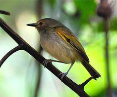 Rusty-Fronted Tody-Flycatcher  (Poecilotriccus latirostris)