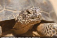 3D Rose Endangered Desert Tortoise-in Joshua Tree National Park-California Hand Towel 15 x 22