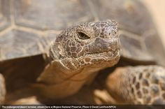The endangered desert tortoise, shown at Mojave National Preserve