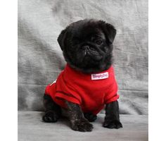 ADORABLE! #pugs #puppy
