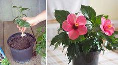 Prakticky ktorúkoľvek čínsku ružu si viete namnožiť z odrezkov. Plant Decor, Hibiscus, Indoor Plants, Terrarium, Gardening, Flowers, Tips, Garden, Entertainment