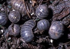 """Isopods are often known as """"pillbugs"""", because they roll into a tight ball that looks like a pill. They are sometimes confused with """"sowbugs"""" which look very similar. Sowbugs, however, have flatter bodies and cannot roll into a ball.   This animal is a crustacean, so its cousins are crabs, crayfish, and shrimp. Just like those creatures, Isopods have gills and need water to breathe. Since they live on land, and not in the water, Isopods must stay in moist places."""