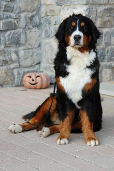 """bernese Hope you're doing well... From your friends at phoenix dog in home dog training""""k9katelynn"""" see more about Scottsdale dog training at k9katelynn.com! Pinterest with over 20,900 followers! Google plus with over 180,000 views! You tube with over 500 videos and 60,000 views!! LinkedIn over 9,300 associates! Proudly Serving the valley for 11 plus years! Now join us on instant gram! K9katelynn"""