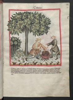 Cod. Ser. n. 2644, fol. 17r: Tacuinum sanitatis: Castanee