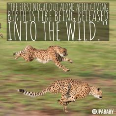 """""""The #first #night #out #alone #after #giving #birth is like #being #released #into the #wild."""" #parenting #newparents #child #cheetah #quote #jungle #prowl #newborn #baby #breastfeeding #parenting #parentsbelike"""
