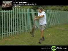 We're right in the action from the get-go as Steve and Carol hit the road to pursue an urgent callout. A badly injured monkey has been spotted and it needs medical attention. Steve and Carol can help – but they need to catch the monkey first!