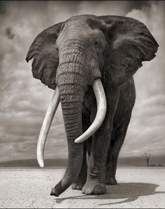Photographer Nick Brandt got tired of taking pictures of elephants who would later be shot for their ivory, so he started the Big Life found...
