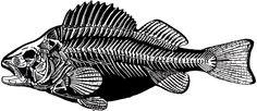 Vintage Fish Skeleton Image! - The Graphics Fairy