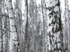 Fototapete, Birkenwald (Nr. 8155) www.berlintapete.de