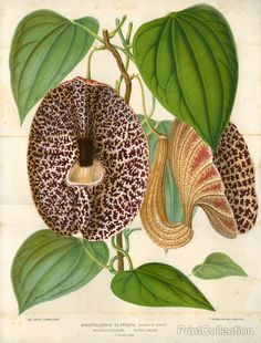 Aristolochia gigantea (Pelican Flower)åÊ Fast growing vine that can grow 15-20 ft tall with support. It has deeply cordate triangular leaves and large, oddly-shaped flowers that are really petal-less