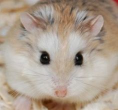 Robert is an adoptable Hamster Hamster in Waukesha, WI ...