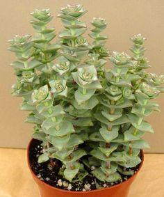 crassula perforata little treasures 1 succulents sedum cactus tillandsia crassula. Black Bedroom Furniture Sets. Home Design Ideas