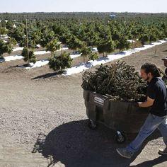 #¿Cerveza, vino o yerba? Denver aprueba la marihuana en bares - Terra Perú: Terra Perú ¿Cerveza, vino o yerba? Denver aprueba la marihuana…