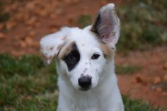 Madonna is an energetic puppy looking for her forever home! She is loves to play and would do well in a pack!  #GreatPyrenees #Aussie #Puppy #Rescue @Madonna #Madonna