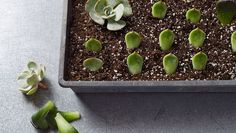 Succulents are among the easiest plants to regenerate. It's also important to propagate your plants so that they stay healthy. Try this once and we bet you'll be hooked! It's so simple.