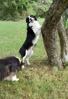 Jaizbibel border collie
