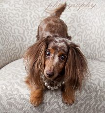 I never thought I would find another dog that looks like my dog a dapple long haired dach