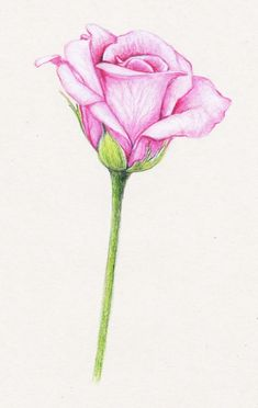 Rose Drawing My Beautiful Flowers Collections: kumquats, peonies Easy Flower Drawings, Pencil Drawings Of Flowers, Easy Drawings, Rose Petals Drawing, Peony Drawing, Drawing Flowers, Realistic Rose, Realistic Drawings, Tumblr Drawings