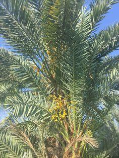 Hurma dactylifera (yenecek meyve veren türü) ağacımda enteresan bir manzara...kucağındaki yavrusunun meyveleri ile kendi meyveleri üst üste... bu sene ilk defa çifte meyveye tanık oldum. Ne şahane bir ağaçsın sen...