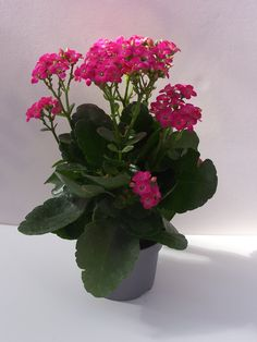 Kalanchoes: Como Cuidar | Flores - Cultura Mix Potted Plants Patio, Cat Plants, Indoor Plants, Cacti And Succulents, Planting Succulents, Kalanchoe Blossfeldiana, Inside Plants, Poisonous Plants, Dish Garden