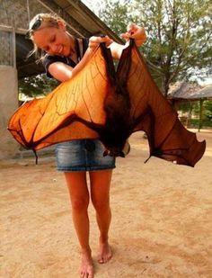 La chauve souris géante d'Inde. http://www.wikilinks.fr/chauve-souris-geante-dinde/                                                                                                                                                      Plus