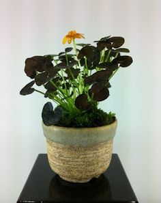 Buttercup Accent Plant (Ranunculus ficaria 'Coppernub') for bonsai display. Accent Plant is 4 years in this pot.