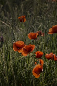 Coquelicots by Tony Dinand on 500px
