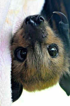 "Cute Baby Fruit Bat.  ""Adorable Baby Animals"""