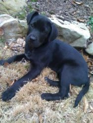 Periwinkle is an adoptable Black Labrador Retriever Dog in Alpharetta, GA. This is one of 5 black lab pups (4 girls and 1 boy) saved an hour before being euthanized at a high kill shelter in south Atl...