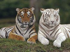 Tiger Animal Wallpaper HD