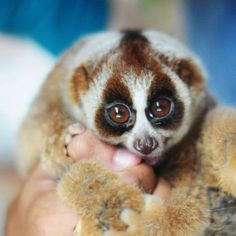 Slow Loris, Rattan Armchair, Owl, Bird, Animals, Animales, Animaux, Owls, Birds