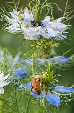 pollinating bee, love-in-a-mist flowers nigelle