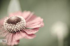 Beauty in Simplicity - Pinned by Mak Khalaf Nature bokehdayflowergardenlightmacronaturenikonsepiasigma by R_sid