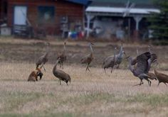 A group of sandhill cranes gangs up on a fox that was hunting at Creamer s Field Migratory Waterfowl Refuge in Fairbanks in late May. The cranes chased the fox into the woods. Jim DeWitt photo