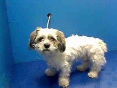 DEE is an adoptable Shih Tzu Dog in Brooklyn, NY.  ...