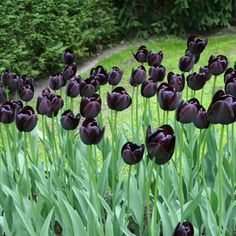 Queen of the Night tulips
