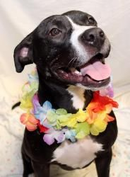 Pocahontas is an adoptable Pit Bull Terrier Dog in Media, PA. Adopt Poca in March for only $40 during the Delco SPCA's Pit Bull Awareness Month! Meet princess Pocahontas- a gorgeous black & white beau...