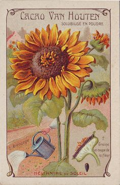 ♥cacao van houten helianthe du soleil by patrick. Vintage Diy, Images Vintage, Vintage Ephemera, Vintage Postcards, Vintage Labels, Botanical Illustration, Botanical Prints, Vintage Seed Packets, Seed Packaging