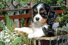 Everything we all love about the Fun Cavalier King Charles Spaniel Dogs Cavalier King Charles, King Charles Spaniel, King Charles Dog, Spaniel Breeds, Spaniel Puppies, Japanese Spitz Dog, Spaniels For Sale, Roi Charles, Dog Competitions