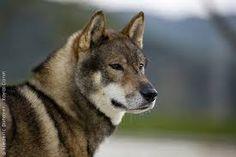 Bildergebnis für shikoku hund