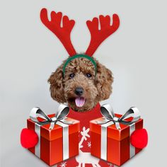 merry christmas, poodle