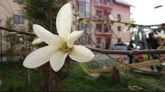 Imagini pentru magnolii