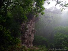 霧の縄文杉 (Jomon Sugi)