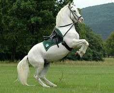 Practice, Practice, Practice. Elite Lipizzaner stallion practicing the levade at the Lipica Stud Farm, Lipica, Slovenia. Birthplace of the breed, it provides horses for the Spanish Riding School in Austria and its performances, though not as promoted or well-known, are virtually equal in prestige and quality. photo: Slovenia Explorer.