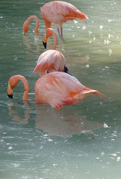 Amazing wildlife - Pink Flamingos photo #flamingos