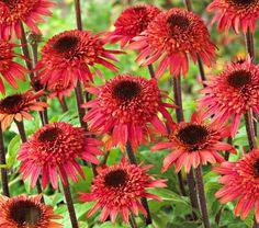 Echinacea Raspberry Truffle (Coneflower)