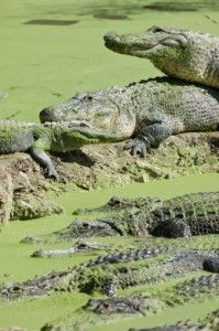 Tours of the Everglades in Florida #summer #travel