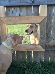 Guy builds a fence window so his Dogs can visit with their Friend next door! For animal people. Pass it on.