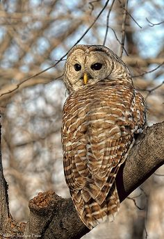 Chouette rayée / Barred Owl by Jocelyne F., via Flickr